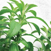 Stevia is Huge – But what lies beyond?